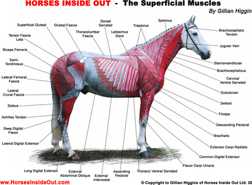 THE ACTION OF MUSCLES