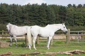 Horses at Wavendon Grange