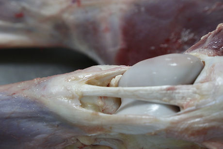 equine dissection, anatomy of the limbs, under the skin muscles, fascia, bone, tendon