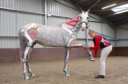 horses inside out, equine skeleton, muscles, tendons and ligaments, improve performance, training, horse riding, forelimb protraction stretch