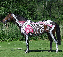 core muscles of the horse, skeleton, Horses Inside Out, equine professional, Gillian Higgins