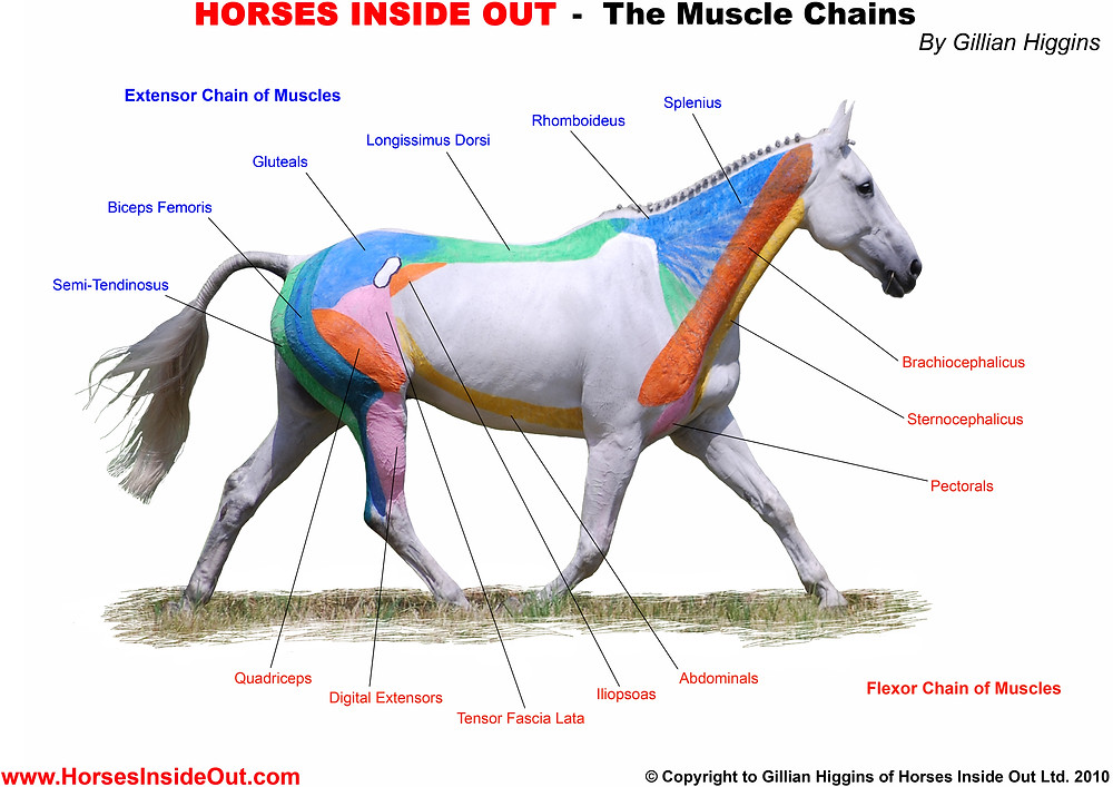 Equine Spinal muscle chains,  extensor chain, flexor chain,  ventral line, dorsal line, myofascial, semitendinosus, biceps femoris, gluteals, longissimus dorsi, rhomboideus, splenius, brachiocephalic, sternomandibular, pectorals, abdominals, iliopsoas, tensor fascia lata, digital extensors, quadriceps, horse muscles