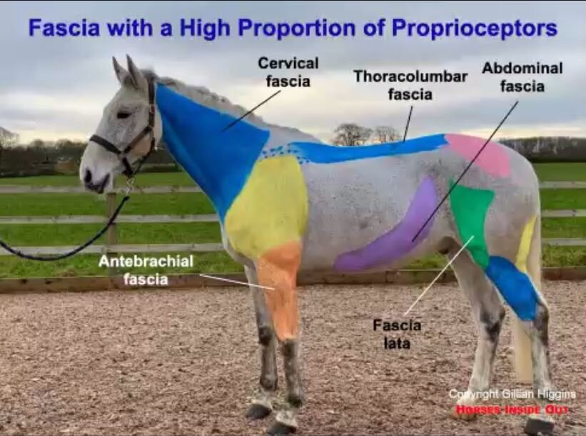 fascial sheets in the horse, aponeurotic fascia, cervical fascia, antebrachial fascia, thoracolumbar fascia, fascia lata, abdominal fascia, femoral fascia in your horse,  Equine fascia with a high proportion of proprioceptors