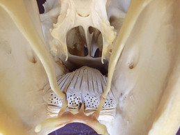 Hyoid Apparatus and the Tongue