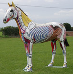 Anatomically painted model