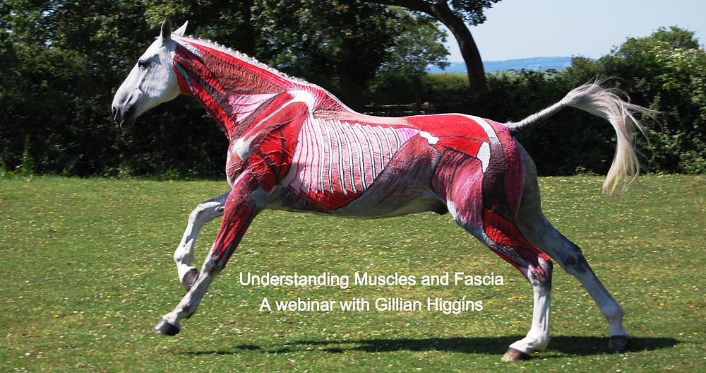 deep muscles of the horse
