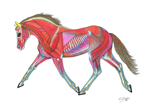Muscle Drawings: In Trot
