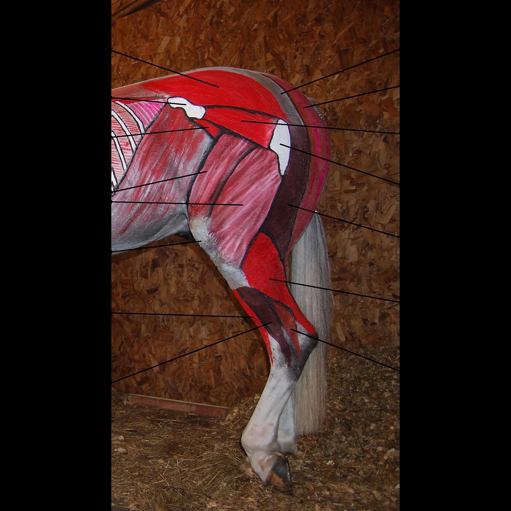 equine muscles of the hind quarters horse, medial gluteal muscles, tuber coxae, iliacus, quadricpes femoris, patella, long digital extensor muscle, lateral digital extensor, sacrosciatic ligament, semitendinosus, deep gluteal, greater trochanter of the femur, semimembranosus, gastrocnemius, deep digital flexor tendon