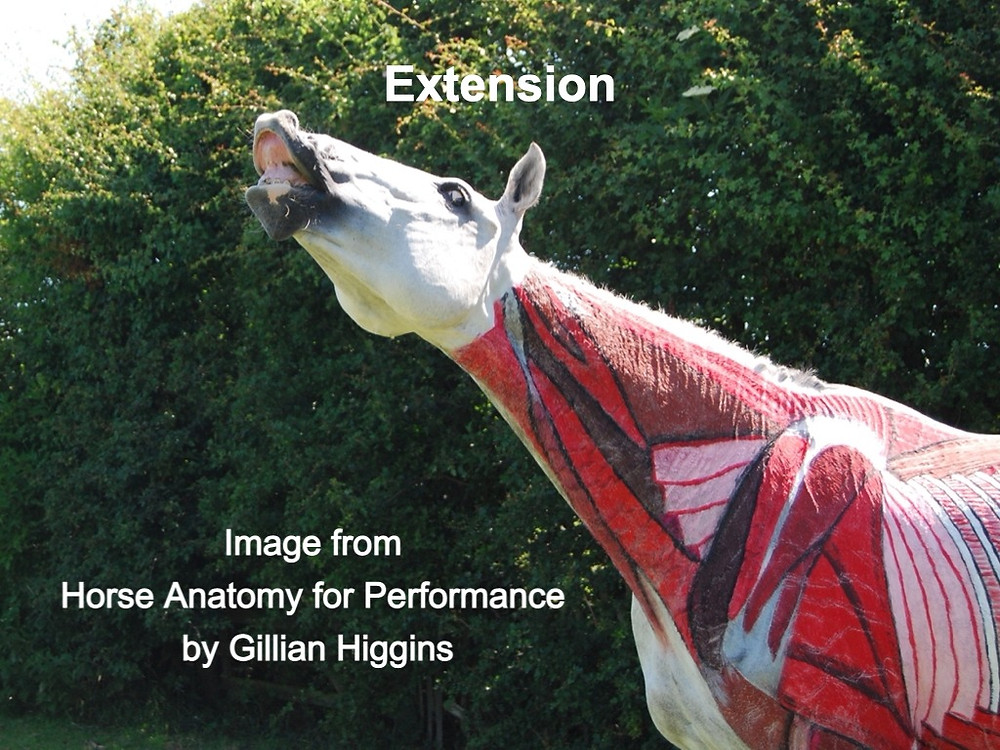Flehmen's response, Deep cervical muscles of the horse, sternomandibular, cervical serrate muscle, splenius,
