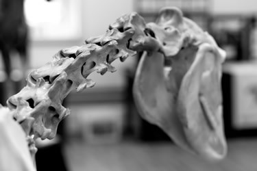 The Horse's Cervical Vertebrae