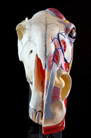 Anatomical Horse Head Sculpture By Gillian Higgins