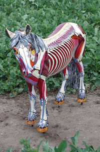 Muscles and skeleton for World Horse Welfare