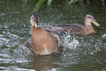 Ducks by the yard