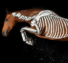 horses inside out, skeleton, showjumping, anatomy, bioimechanics, bones vertebrae, Gillian Higgins