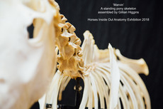 Standing Pony Skeleton