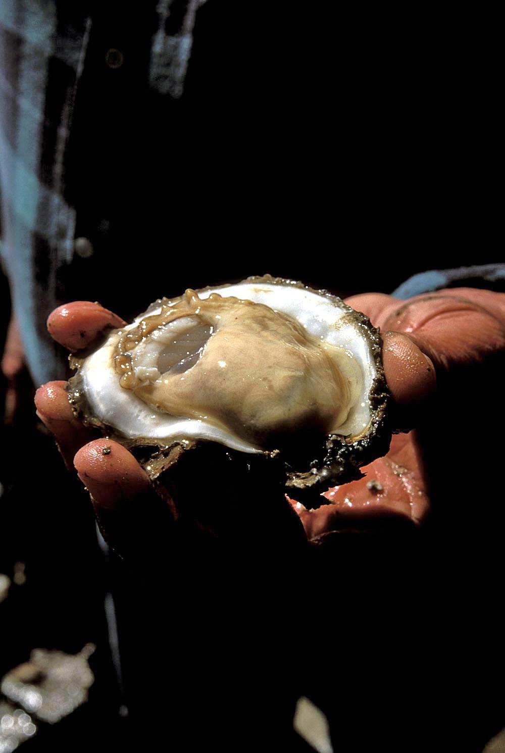 HAV Oysters