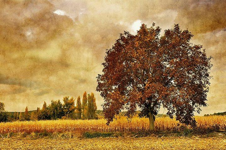 Грецкий орех и кукурузное поле