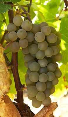 Виноград сорта verdejo