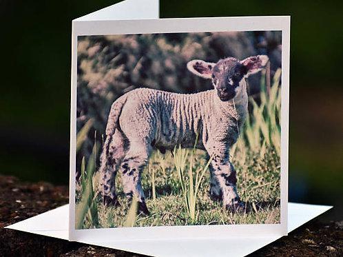 Greetings Card - Young Lamb, Ballimakillichan, Isle of Lismore, Argyll, Scotland
