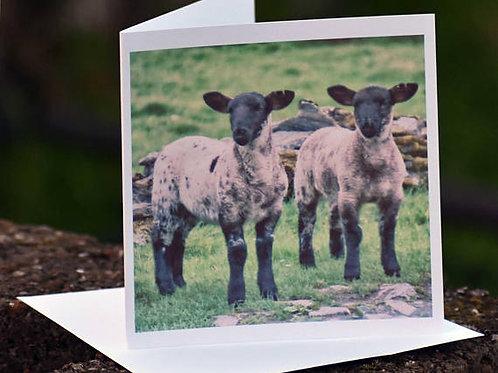 Greetings Card - Twin Lambs, Ballimakillichan, Isle of Lismore, Argyll, Scotland