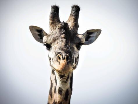 Giraffe Portrait - Africa