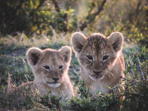 Cubs - Africa