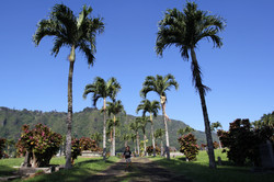 Palm Trees at Cemetery, Honolulu