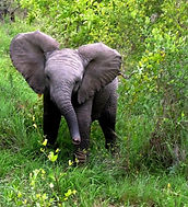 Baby elephant, South Africa