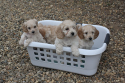A Basket of puppies!