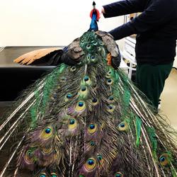 Peacock surgery
