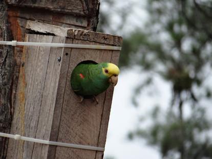 Yellowheaded Parrots