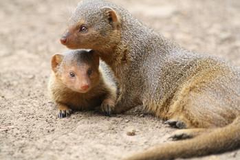 mongoose-2380385.jpg