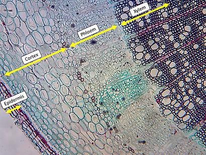 Hedra helix