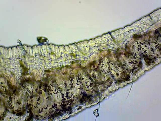 Pond worm