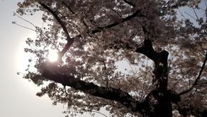 桜がとっても綺麗🌸