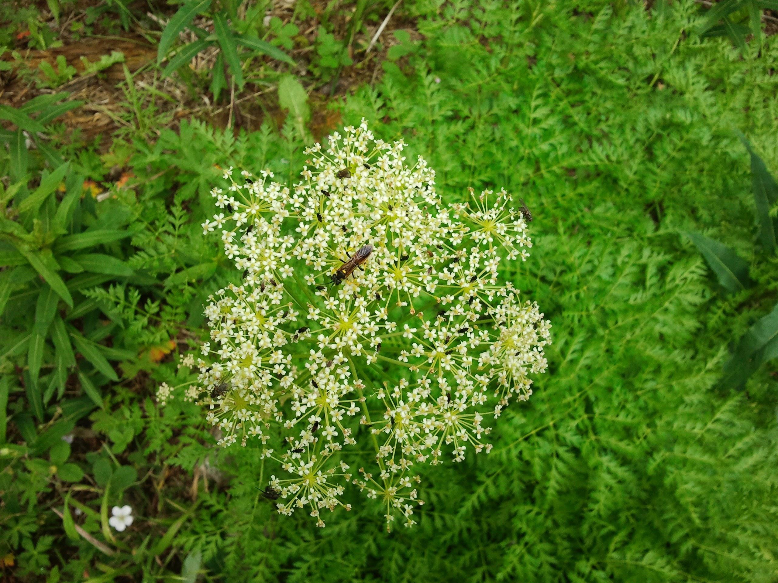unbeliferous herb