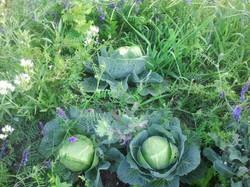 cabbage interplanted