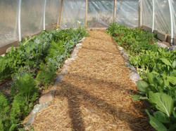 hoop house for greens