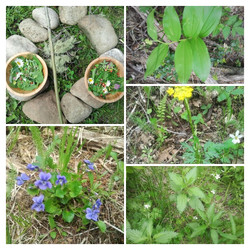 Wild Herbs Harvest