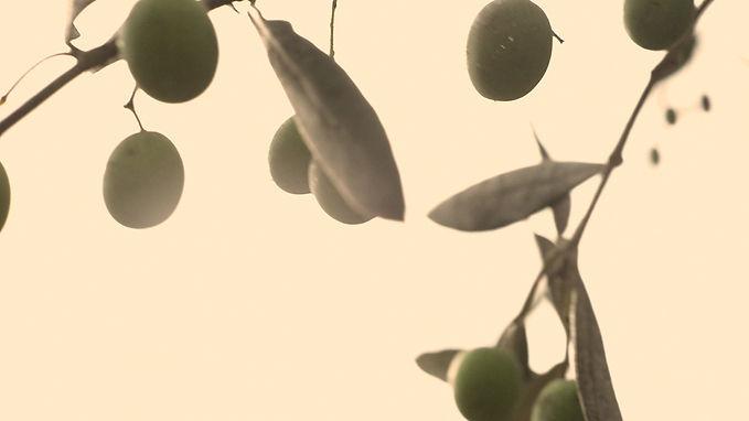 oliva taggiasca ligure