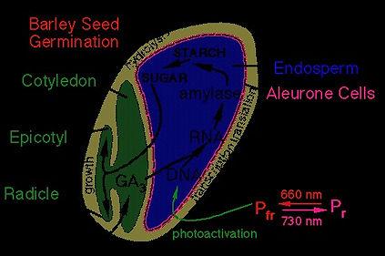 Barley Seed (2).jpg