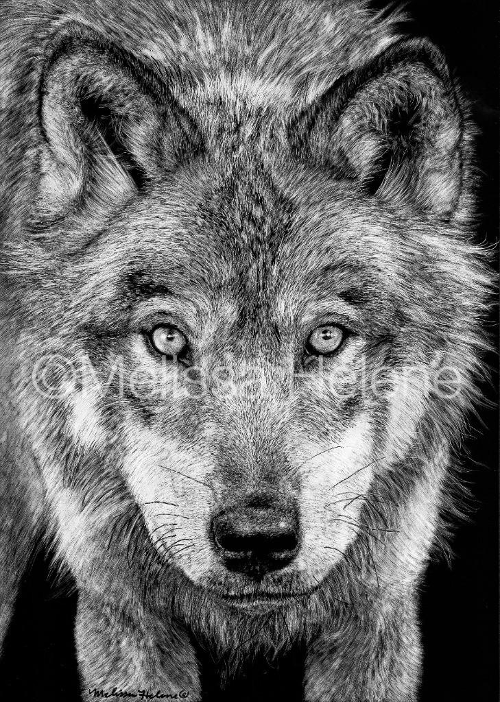 Grey Wolf scratchboard
