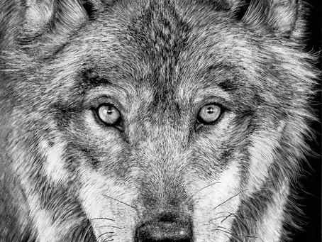 Grey Wolf   Endangered Species Series