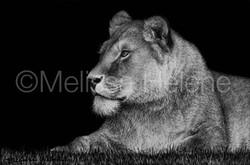 Lioness 3 (wm)
