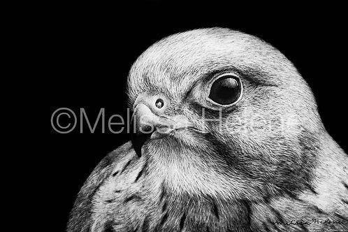 "Alpomado Falcon | Original | 4""x6"""