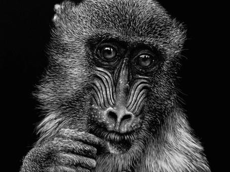 Mandrill | Endangered Species Series