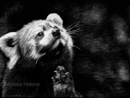 Red Panda   Endangered Species Series