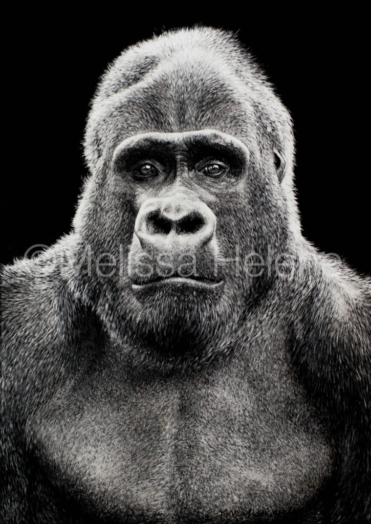 Mountain Gorilla scratchboard