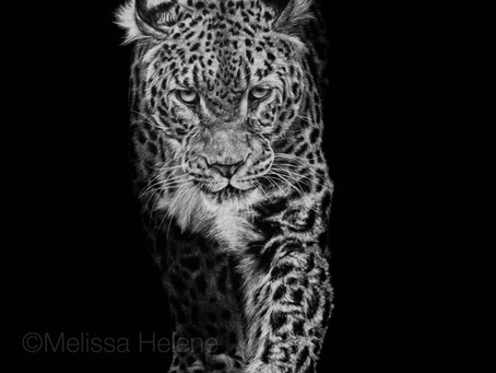 Amur Leopard | Endangered Species Series