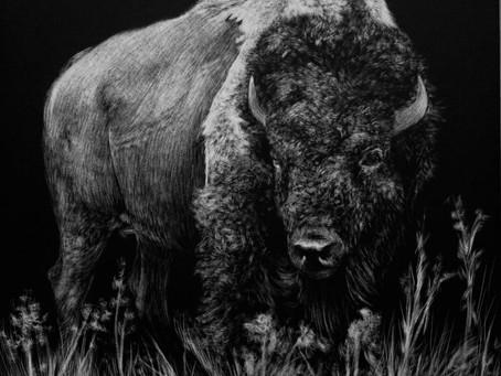 Endangered Species Series | American Bison (Bison bison)